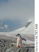 Gentoo penguin (Pygoscelis papua) Ronge Island. Mt. Tennant in background. Antarctica. Стоковое фото, фотограф Jeff Foott / Nature Picture Library / Фотобанк Лори