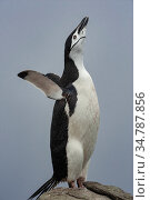 Chinstrap penguin (Pygoscelis antarctica) displaying, Aitcho Islands, South Shetland Islands, Antarctica. Стоковое фото, фотограф Jeff Foott / Nature Picture Library / Фотобанк Лори