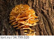 Гриб трутовик серно-желтый (Laetiporus sulphureus) Стоковое фото, фотограф Александр Щепин / Фотобанк Лори