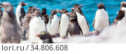 Rockhopper penguins in Southern Argentina. Стоковое фото, фотограф Zoonar.com/Galyna Andrushko / easy Fotostock / Фотобанк Лори
