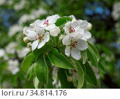 Apple blossoms in spring on white background. Стоковое фото, фотограф Zoonar.com/Alexander Strela / easy Fotostock / Фотобанк Лори