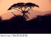 Acacia tree silhouette in african sunset, Awash national part, central... Стоковое фото, фотограф Zoonar.com/Artush Foto / easy Fotostock / Фотобанк Лори