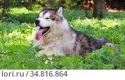 Purebred Alaskan Malamute dog with its tongue hanging out lies in the green grass on a sunny summer day. Стоковое видео, видеограф Алексей Кузнецов / Фотобанк Лори