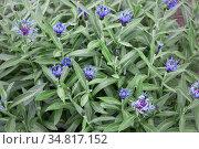Цветет василек горный. Выращивание многолетних растений. Стоковое фото, фотограф Наталья Осипова / Фотобанк Лори