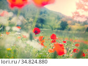Wild red poppies on the meadow in sunny day. Decorated with light... Стоковое фото, фотограф Zoonar.com/Galyna Andrushko / easy Fotostock / Фотобанк Лори
