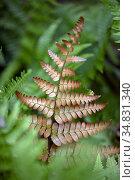Autumn fern or Japanese shield fern (Dryopteris erythrosora) - Asheville... Стоковое фото, фотограф Bill Gozansky / age Fotostock / Фотобанк Лори