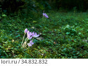 Purple flowers of autumn crocus in a forest glade. Стоковое фото, фотограф Евгений Харитонов / Фотобанк Лори