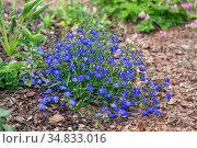 Лобелия цветет в саду. Выращивание низкорослых однолетних растений. Стоковое фото, фотограф Наталья Осипова / Фотобанк Лори