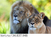 Lion pair (Panthera leo) Beauval Zoo, Saint-Aignan, France. Стоковое фото, фотограф Eric Baccega / Nature Picture Library / Фотобанк Лори
