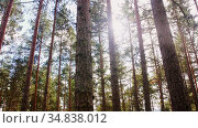natural scene of pine forest or woods. Стоковое видео, видеограф Syda Productions / Фотобанк Лори