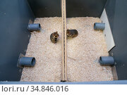 GaiaZOO European Hamster (Cricetus cricetus) Breeding Program: enclosure setup to determine if the hamsters are ready to mate. This is necessary because... Стоковое фото, фотограф Edwin Giesbers / Nature Picture Library / Фотобанк Лори