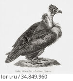Arabian vulture, aka Lappet-faced vulture or Nubian vulture. From... Редакционное фото, фотограф Classic Vision / age Fotostock / Фотобанк Лори
