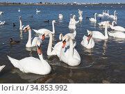 Лебеди крупным планом на озере Сасык-Сиваш в городе Евпатория, Крым. Стоковое фото, фотограф Николай Мухорин / Фотобанк Лори