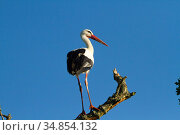 White stork (Ciconia ciconia) perched near nest, first White storks to nest in the UK for 600 years. Part of reintroduction project, Knepp Farm, Sussex, England, UK. June 2020. Стоковое фото, фотограф David Woodfall / Nature Picture Library / Фотобанк Лори
