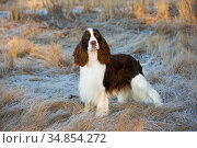 English Springer Spaniel standing in winter salt marsh, early morning, Connecticut, USA. Стоковое фото, фотограф Lynn M. Stone / Nature Picture Library / Фотобанк Лори