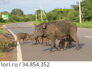 Wild boar (Sus scrofa cristatus) sow crossing road with piglets, Sri Lanka. Стоковое фото, фотограф Robin Chittenden / Nature Picture Library / Фотобанк Лори