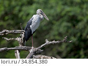 Asian openbill (Anastomus oscitans) perched, Sri Lanka. Стоковое фото, фотограф Robin Chittenden / Nature Picture Library / Фотобанк Лори