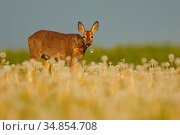 Roe deer (Capreolus capreolus) eating dandelions in late spring , UK. May. Стоковое фото, фотограф Andy Rouse / Nature Picture Library / Фотобанк Лори