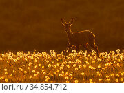 Roe deer (Capreolus capreolus) amongst dandelion seed heads at sunset, UK. May. Стоковое фото, фотограф Andy Rouse / Nature Picture Library / Фотобанк Лори