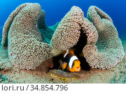 Saddleback anemonefish (Amphiprion polymnus) barks a warning as it... Стоковое фото, фотограф Alex Mustard / Nature Picture Library / Фотобанк Лори