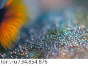 Shallow depth of field photo of an adult saddleback anemonefish (Amphiprion polymnus) fanning eggs, laid on a stone near the base of the anemone. Dauin... Стоковое фото, фотограф Alex Mustard / Nature Picture Library / Фотобанк Лори