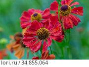 Гелениум красный (Helenium) Стоковое фото, фотограф Ольга Сейфутдинова / Фотобанк Лори