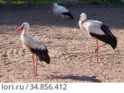 Stork family on a field on a summer day. Стоковое фото, фотограф Анна Гучек / Фотобанк Лори
