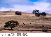 Cattle pasture, cattle, hilly landscape, near Coolah, NSW, Australia. Стоковое фото, фотограф R. Kunz / age Fotostock / Фотобанк Лори