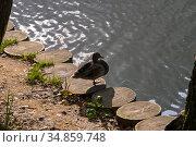 Утка-кряква стоит на одной лапке на берегу пруда. Контровый свет, солнечный день в сентябре. Москва, Теплостановский лесопарк. Стоковое фото, фотограф Сергей Рыбин / Фотобанк Лори