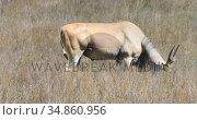 Common elands standing on a grassland 4k. Стоковое видео, агентство Wavebreak Media / Фотобанк Лори