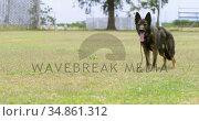 Shepherd dog standing in the fied 4k. Стоковое видео, агентство Wavebreak Media / Фотобанк Лори