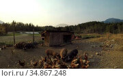 Pigs and hen having food in the farm 4k. Стоковое видео, агентство Wavebreak Media / Фотобанк Лори