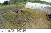 Hen grazing in the farm 4k. Стоковое видео, агентство Wavebreak Media / Фотобанк Лори