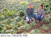Farmer couple inspecting savoy cabbage after drought. Стоковое фото, фотограф Яков Филимонов / Фотобанк Лори