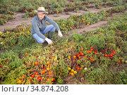 Farmer examining damaged tomato plants on farm field. Стоковое фото, фотограф Яков Филимонов / Фотобанк Лори