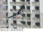 Andean condor, (Vultur gryphus) in flight, Farellones, Chile. Редакционное фото, фотограф David Pike / Nature Picture Library / Фотобанк Лори