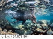 Antarctic fur seal (Arctocephalus gazella), Antarctic Peninsula, Antarctica. Стоковое фото, фотограф Jordi Chias / Nature Picture Library / Фотобанк Лори