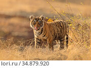 Bengal tiger (Panthera tigris) cub standing, licking lips. Ranthambhore... Стоковое фото, фотограф Andy Rouse / Nature Picture Library / Фотобанк Лори