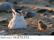 Little Tern (Sterna albifrons) chick walking back to parent sitting on nest scrape on beach . Gronant Dunes, Denbighshire, Wales, UK, June. Стоковое фото, фотограф David  Woodfall / Nature Picture Library / Фотобанк Лори