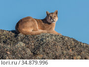 Puma (Puma concolor) female resting on rock. Torres del Paine, Patagonia, Chile. July. Стоковое фото, фотограф Ingo Arndt / Nature Picture Library / Фотобанк Лори