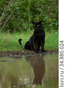 Melanistic leopard / Black panther (Panthera pardus fusca) sitting, reflected in water. Nagarhole National Park, India. Photo© Phillip Ross/Felis Images. Стоковое фото, фотограф Felis Images / Nature Picture Library / Фотобанк Лори