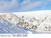 Mountain hare (Lepus timidus) runs down a snowy mountain side.  Monadhliath... Стоковое фото, фотограф SCOTLAND: The Big Picture / Nature Picture Library / Фотобанк Лори
