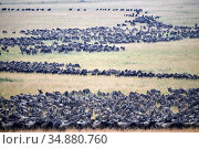 Eastern White-bearded Wildebeest (Connochaetes taurinus) migrating herds, Masai Mara National Reserve, Kenya. Стоковое фото, фотограф Eric Baccega / Nature Picture Library / Фотобанк Лори