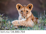 Lion (Panthera leo) cub portrait, Masai Mara National Reserve, Kenya. Стоковое фото, фотограф Eric Baccega / Nature Picture Library / Фотобанк Лори