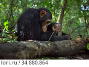 Eastern chimpanzee (Pan troglodytes schweinfurtheii) juvenile male 'Gimli' aged 10 years using stick to try and get at insects he can hear... Стоковое фото, фотограф Anup Shah / Nature Picture Library / Фотобанк Лори