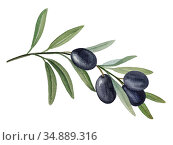 Olive branch with black olives watercolor illustration. Стоковая иллюстрация, иллюстратор Людмила Дутко / Фотобанк Лори