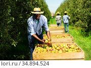 Farmer showing garvested pears in orchard. Стоковое фото, фотограф Яков Филимонов / Фотобанк Лори