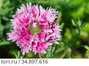 Гвоздика китайская махровая (лат. Dianthus chinensis) цветет в саду. Стоковое фото, фотограф Елена Коромыслова / Фотобанк Лори
