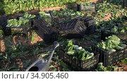 Freshly picked chard in plastic boxes on field at vegetable farm. Стоковое видео, видеограф Яков Филимонов / Фотобанк Лори