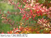 Барбарис Тунберга Старберст (Berberis thunbergii Starburst) Стоковое фото, фотограф Наталия Кузнецова / Фотобанк Лори